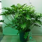 킹셀렘 특특대주-7촉묵은주 한뿌리-동일상품배송|