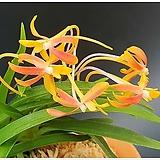 경미인 완성분|Pachyphytum oviferum cv. Kyobijin