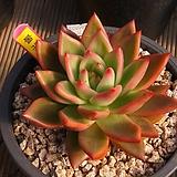 불꽃|Crassula Americana cv.Flame