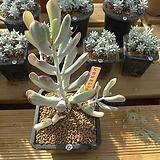[겨울특판]원종복랑금(27)x28|Cotyledon orbiculata cv variegated