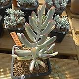 [겨울특판]원종복랑금(31)x28|Cotyledon orbiculata cv variegated