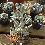 [겨울특판]원종복랑금(32)x28|Cotyledon orbiculata cv variegated