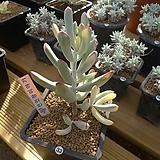 [겨울특판]원종복랑금(33)x28|Cotyledon orbiculata cv variegated