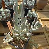[겨울특판]원종복랑금(34)x28|Cotyledon orbiculata cv variegated