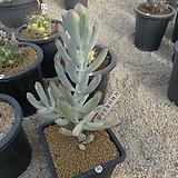 [겨울특판]원종복랑금(35)x28|Cotyledon orbiculata cv variegated