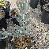 [겨울특판]원종복랑금(36)x28|Cotyledon orbiculata cv variegated