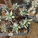 [겨울특판]화이트그리니9두(12)|Dudleya White greenii