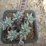 [겨울특판]화이트그리니8두(20)|Dudleya White greenii