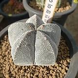 온즈카난봉옥A(실생)x28|Astrophytum myriostigma cv. ONZUKA