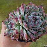 묵은 콜로라타 2두 군생 147|Echeveria colorata
