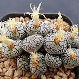 위트버젠스7060 Conophytum Wittebergense