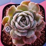 온슬로우금|Echeveria cv Onslow