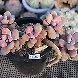 아메치스(자연군생)12-46|Graptopetalum amethystinum