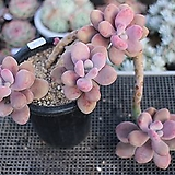 아메치스(자연군생)12-58|Graptopetalum amethystinum