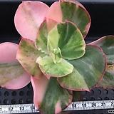 오로라금 대품 -주성농원 Sedum rubrotinctum cv.Aurora