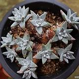 화이트그리니 자연목대 군생 45|Dudleya White greenii