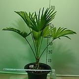 도시루 중대품 15번-실내식물-공기정화최고식물-동일품배송|