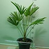 도시루 중대품 16번-실내식물-공기정화최고식물-동일품배송|