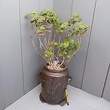 보니페이스 버터플라이,유럽제라늄..고재항아리|pelargonium inquinans