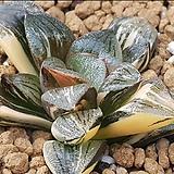 스프렌덴스 흑계금(명창계)귀한아이입니다(모주첨부) variegated