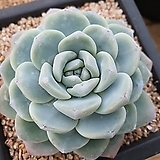 아이시그린 (217)|Echeveria Ice green