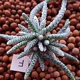 알스토니적화|Avonia quinaria ssp Alstonii