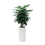 신종녹보수 거실인테리어식물 대형 개업축하화분 DLP-180|Sedum dendroideum