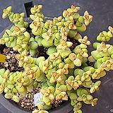 브레비폴리아113011|Crassula Brevifolia