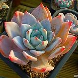 야생콜로라타52|Echeveria colorata