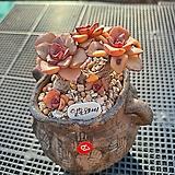 일본모라니 67(분별도)|Echeveria moranii