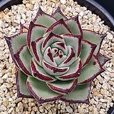 환엽 연꽃마리아 (뿌리조금)   1130-179|Echeveria agavoides Maria