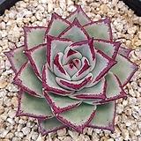 환엽 연꽃마리아 (뿌리조금) 1130-181|Echeveria agavoides Maria