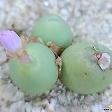 핑크글로보섬  성체 
