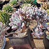 오팔리나 (330)|Graptoveria Opalina