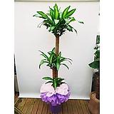 행운목 3단 (pp분) 포장완성분 개업축하화분 행사용 감사식물|