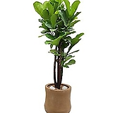 떡갈고무나무 고급폴리분 개업축하화분 감사식물 DLP-063|