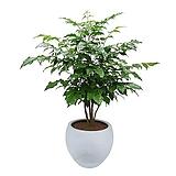 신종녹보수 고급폴리분 집들이식물 개업화분 DLP-064|Sedum dendroideum
