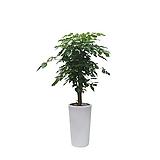 녹보수 보석나무 개업축하화분 감사선물 특이식물 DLP-082|Sedum dendroideum