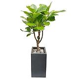 뱅갈고무나무 특이식물 개업축하화분 거실인테리어식물 DLP-039|