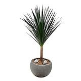 드라세나드라코 개업축하화분 인테리어화분 거실식물 DLP-058|