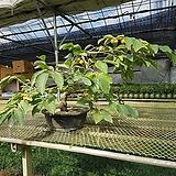 감나무 25년생|