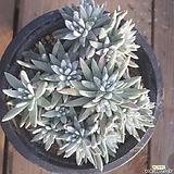화이트그리니  120201|Dudleya White greenii