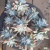 화이트그리니  120204|Dudleya White greenii