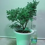 블루버드 중품16번-청진백-인기식물-동일상품배품|