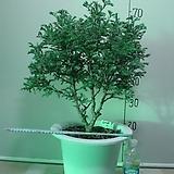 블루버드 대품17번-청진백-인기식물-동일상품배품|