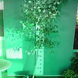 유칼립투스 폴리안-특특특대품4번-높이200센치-아토피-비염.알레르기효과만점-동일품배송|
