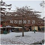 대왕참나무(핀오크),1년생특묘,목하원예조경 