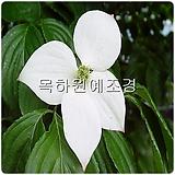 산딸나무(1년생특묘),목하원예조경 