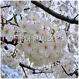 산벚나무(1년생특묘),목하원예조경 