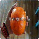 감나무,대왕단감(태추단감),접목1년묘,목하원예조경 